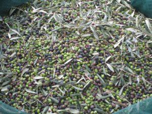 Raccolta delle olive su cui è stato usato il caolino per la lotta alla mosca olearia.
