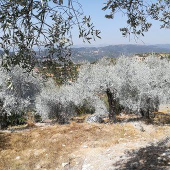 Il caolino e gli ulivi: un binomio perfetto!