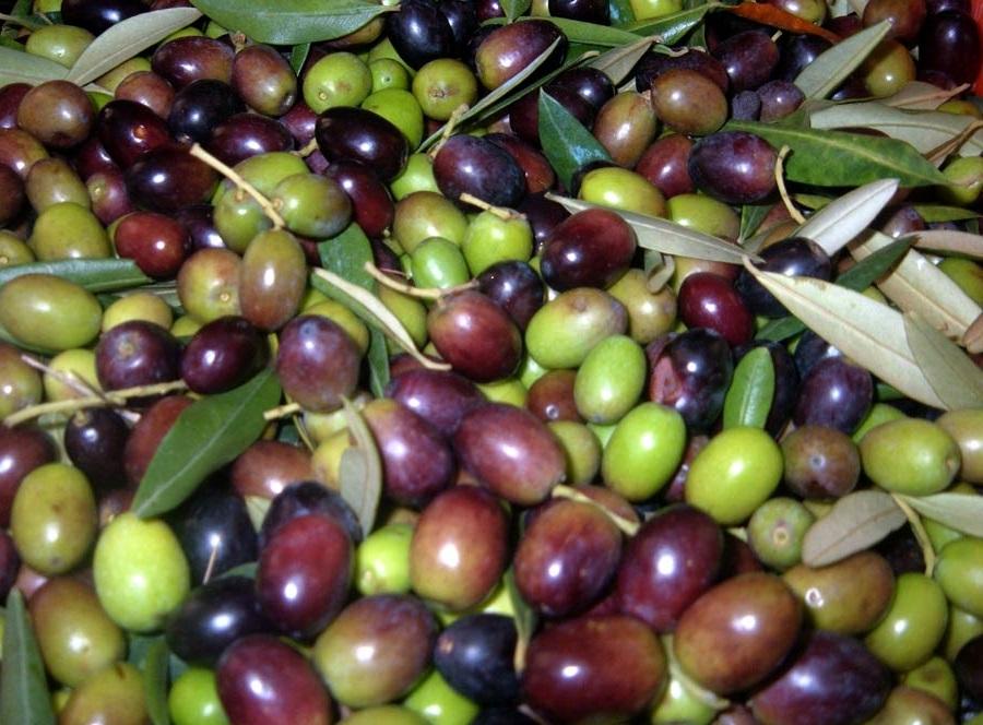 L'invaiatura e il suo ruolo nella raccolta delle olive