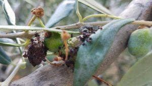 oliva colpita da margaronia