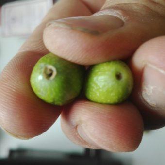 Come riconoscere la Tignola ( Prays Olea ) dell'ulivo