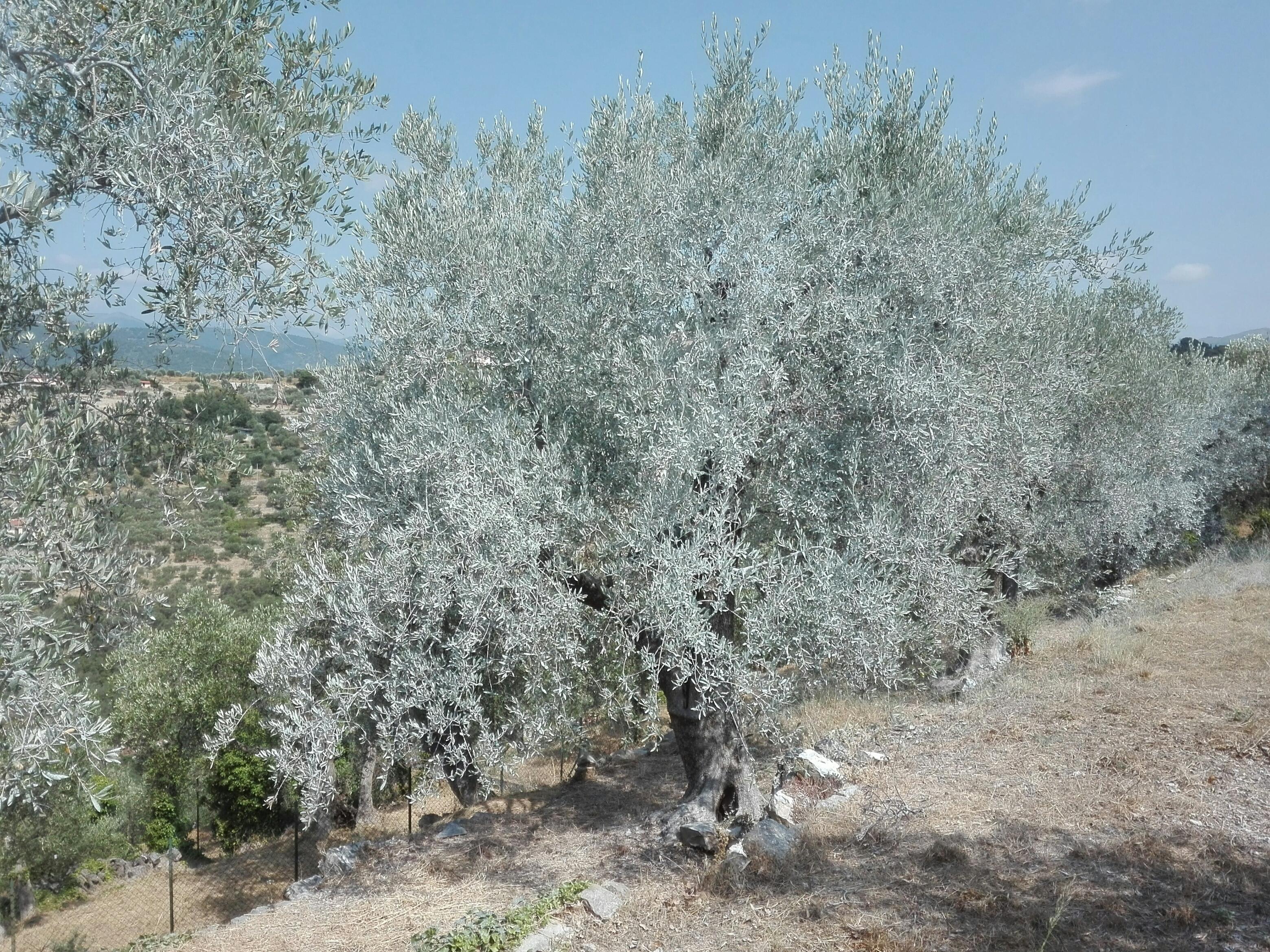 09 giugno a Testico (SV) :conoscere e combattere la mosca olearia con il caolino
